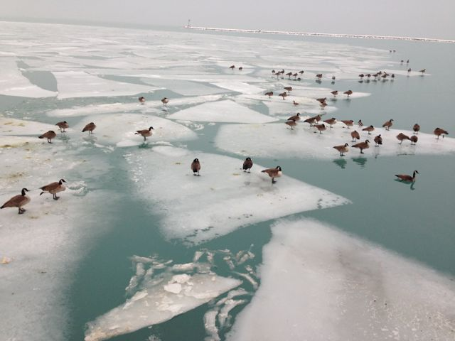 Geese on ice at Chicago's Grant Park lakefront