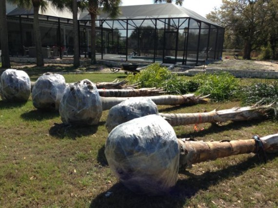 Five Queen Palms waiting to be planted