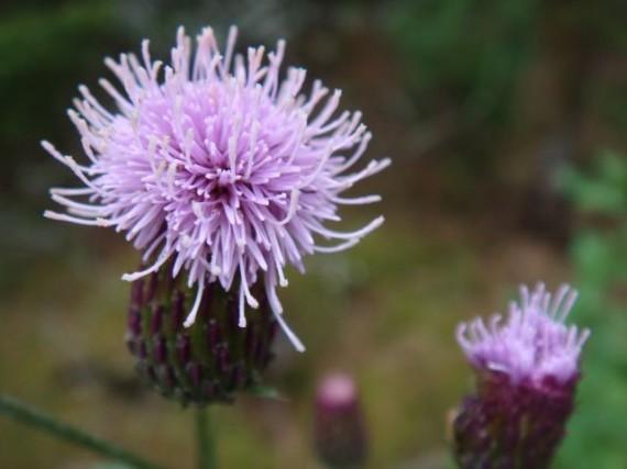 Finland wild flowers