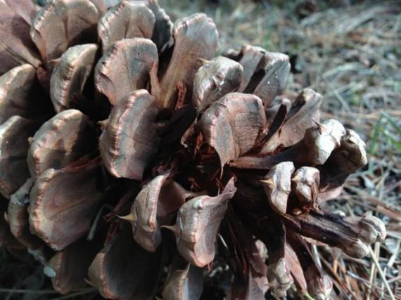 common pine cone