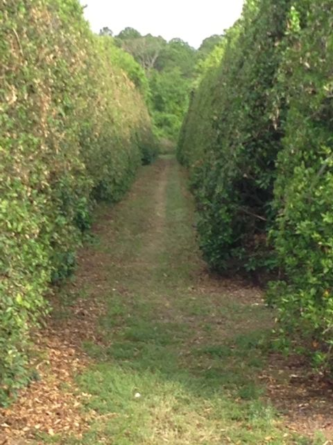 Florida Orange Grove manicured for the season