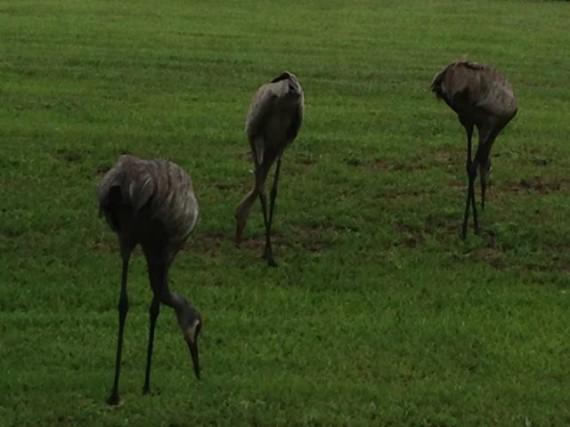 Three Florida Sand Hill Cranes feeding in yard