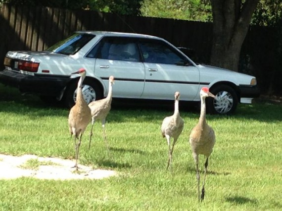 Two adult and two juvenile Florida Sand Hill cranes in homeowner's yard