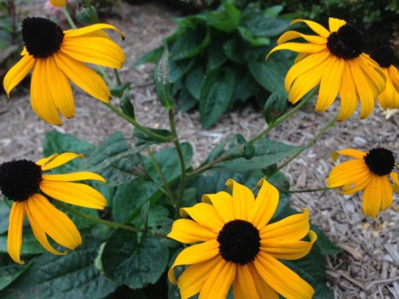 Black eyed susans in Iowa front yard