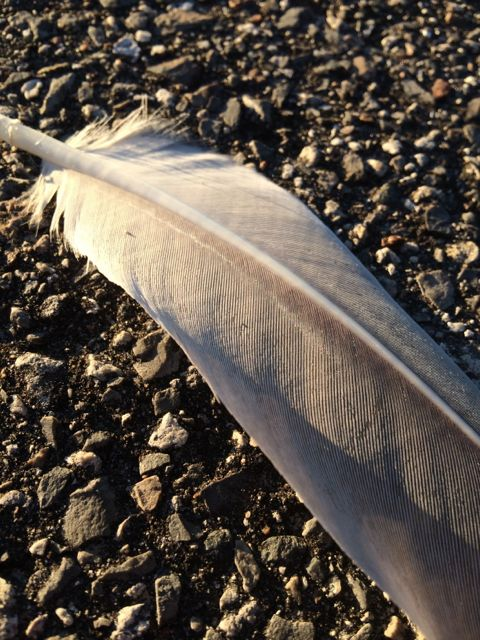 Florida Sand Hill Crane feather