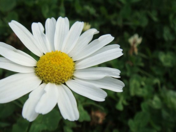 Daisy in Finland country side