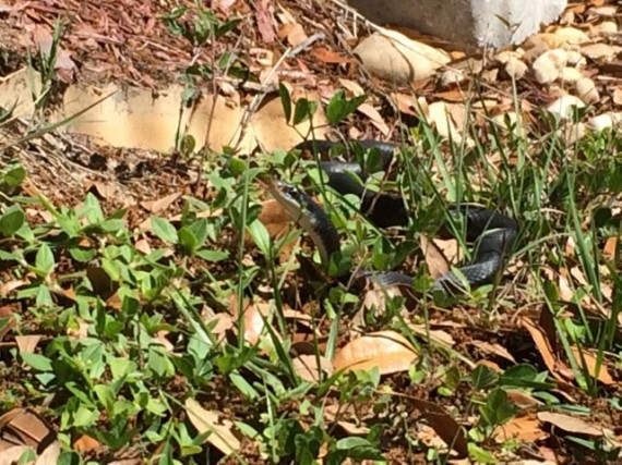 Black snake in the Florida grass