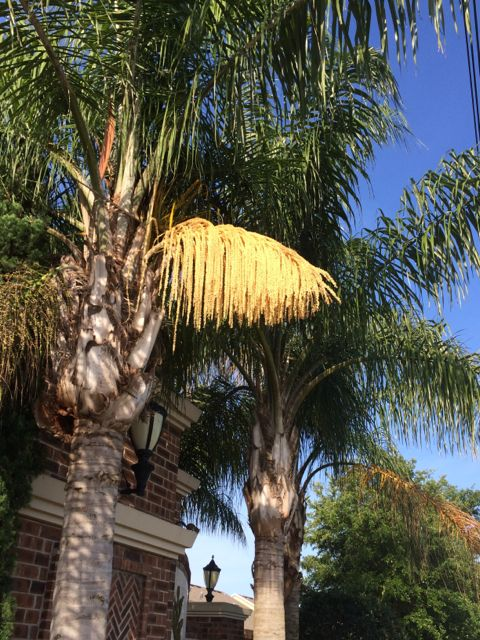Florida Queen palms in bloom