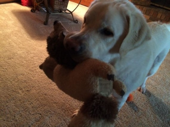 Lab with two stuffed toys in his mouth
