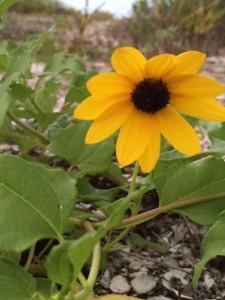Sanibel Island Beach Sunflower