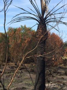 Burnt cypress palm in nature preserve