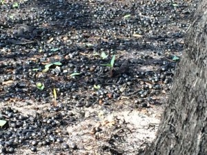 Green sprouts of vegetation rising from recent wildfire