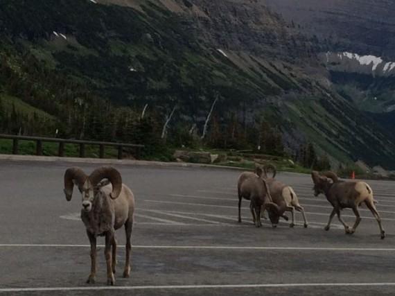 Logan Pass parking lot at dusk with four Big Hirn Sheep