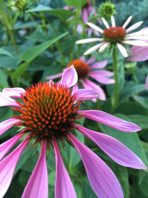 Cone flower on Colorado State University campus