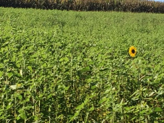 Lone blooming sunflower in field