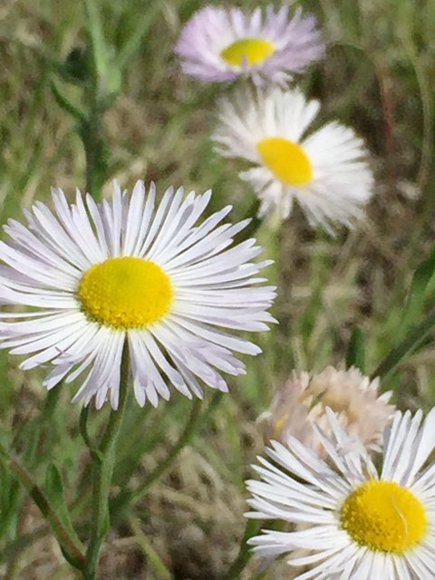 Denver wild flowers