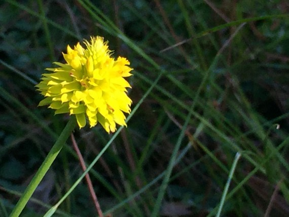 Bright yellow Florida wildflower