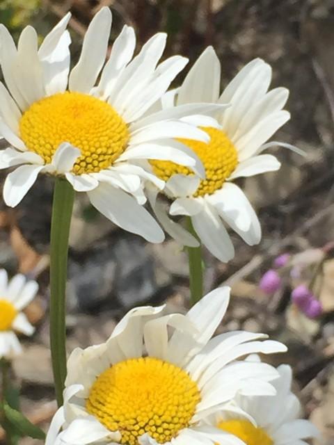Glacier National Park wildflowers