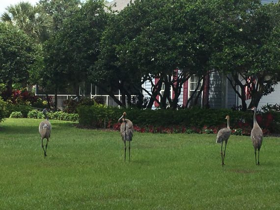 Sandhill Cranes meet Disney Business Advisor