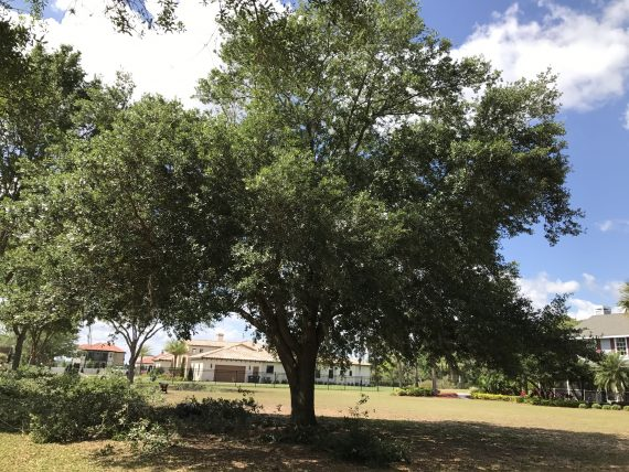 Orlando tree trimming