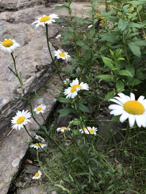 Glacier park flowers
