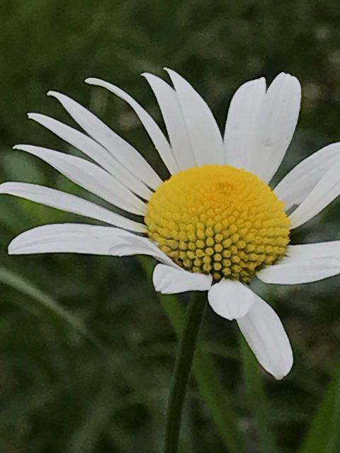 Glacier wildflower