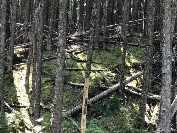 Glacier Park Cedar forest