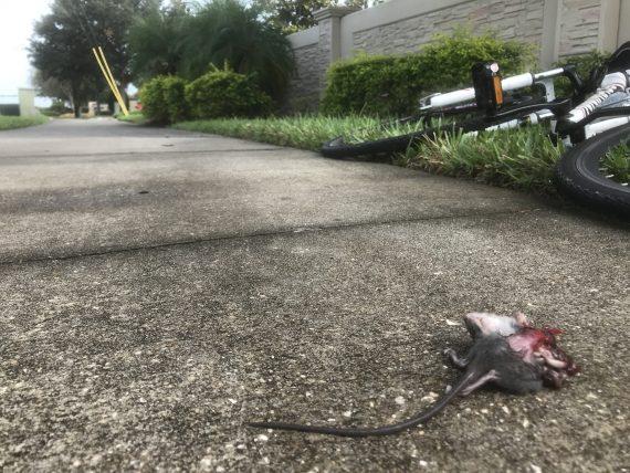 Dead mouse on sidewalk