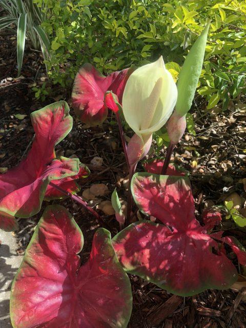 florida red caladium