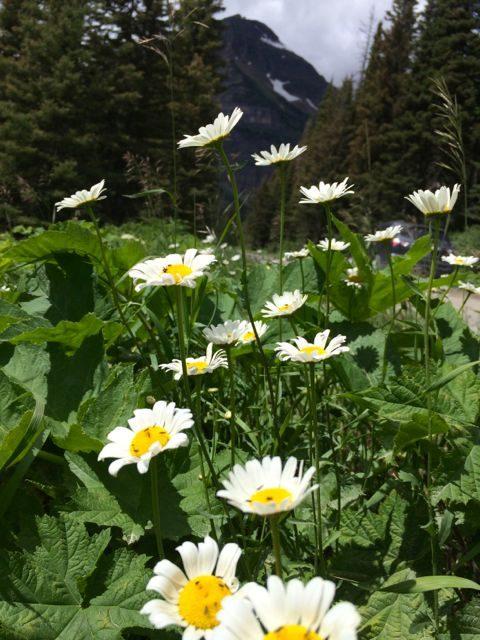 Glacier Park daisies