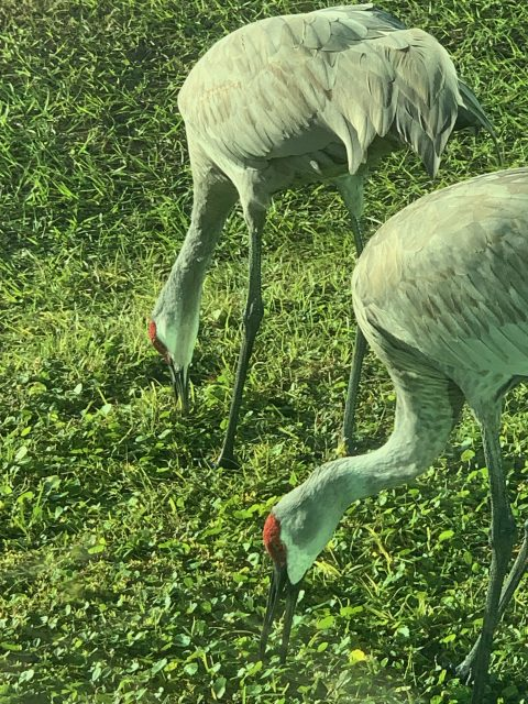 Sandhill Cranes near gym