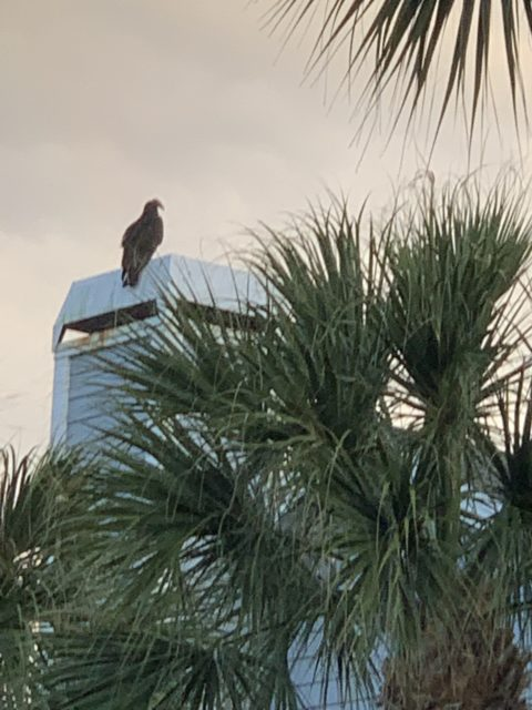 vulture on florida chimney