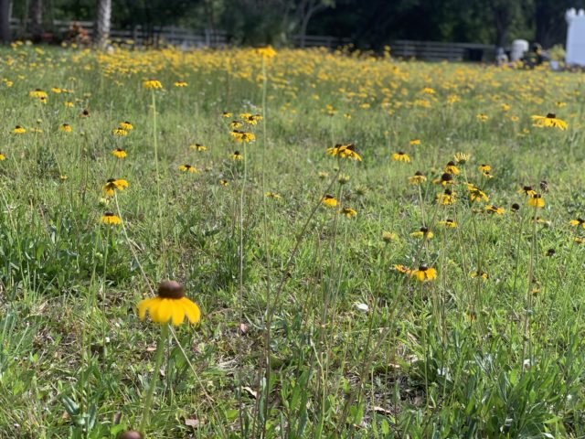 black eyed susans in Orlando