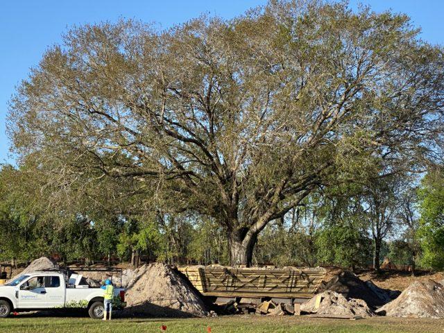 Transplanting a Disney tree