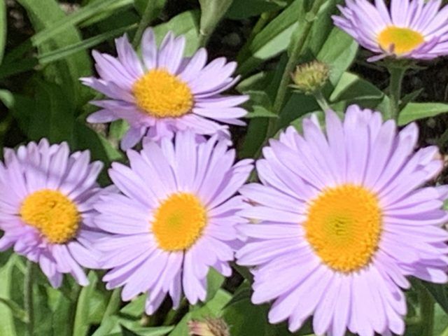 Purple daisies in Glacier