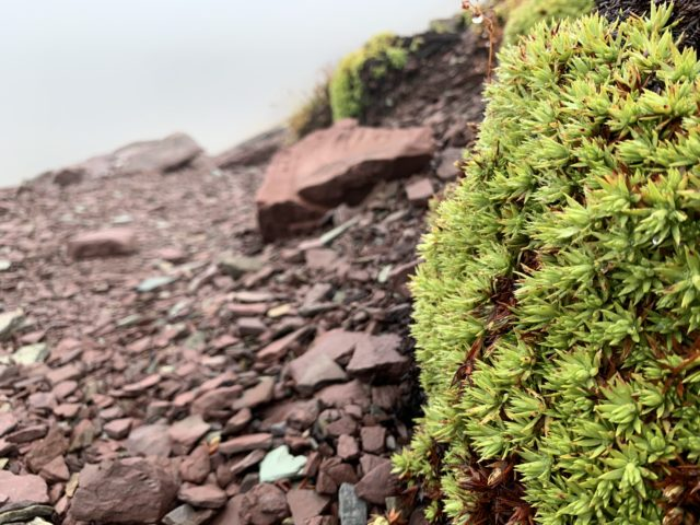 Moss type plant in Montana mountains