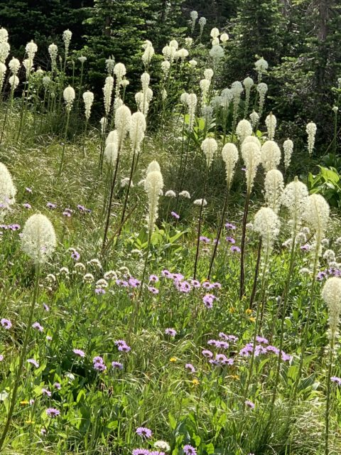 Beargrass in Glacier National Park