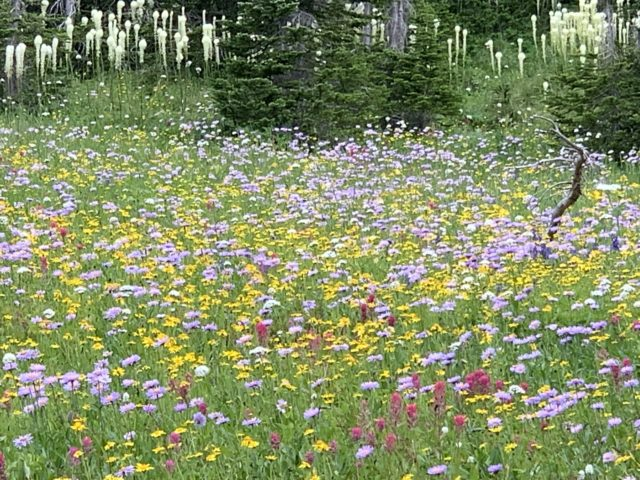 mountain wildflower meadow