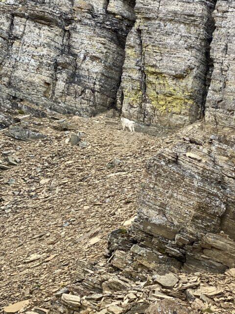 mountain goat next to rock wall