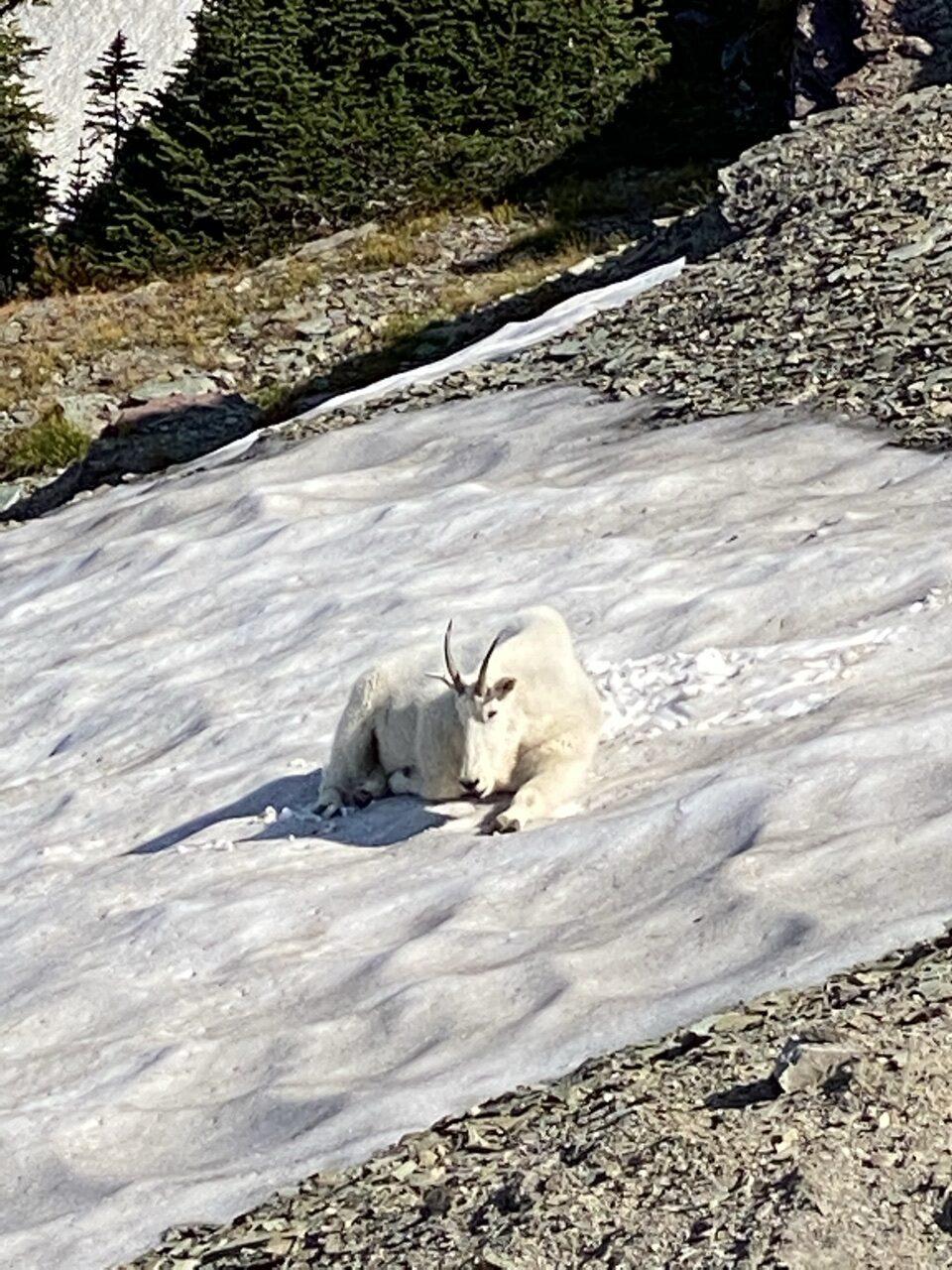 mountain goat on snow