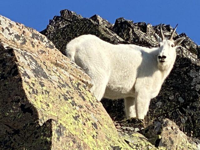 Momma mountain Goat
