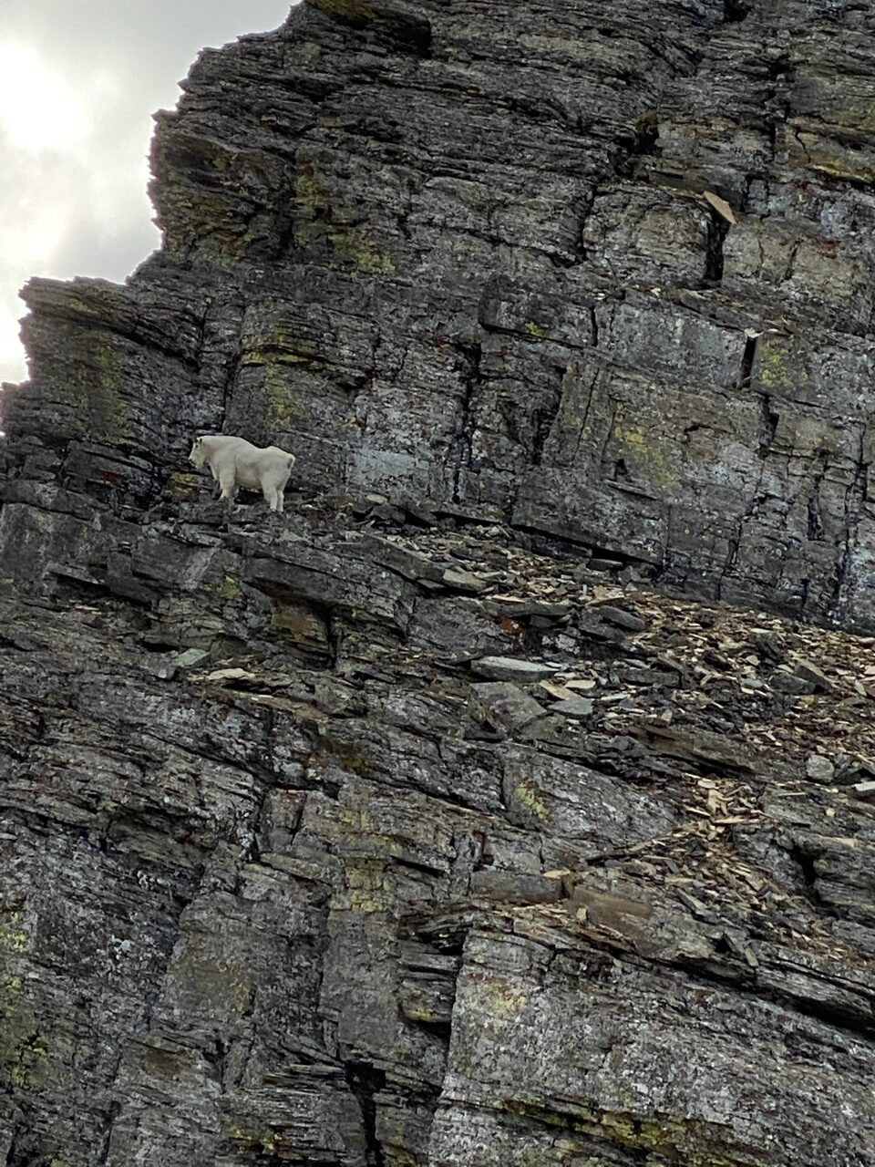 mountain goat on cliff