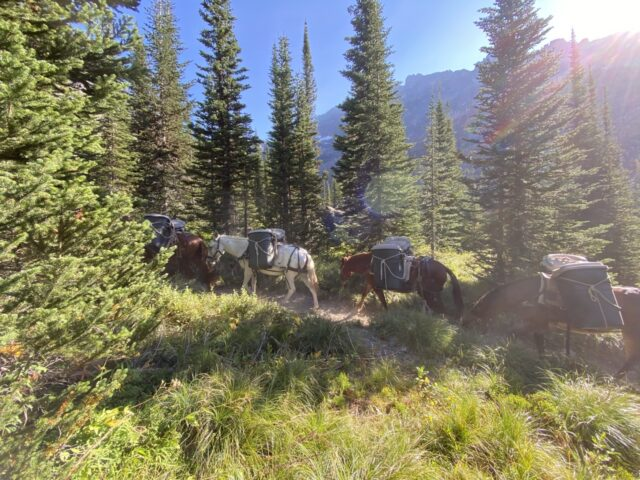 Mule pack-train carrying supplies on mountain trail