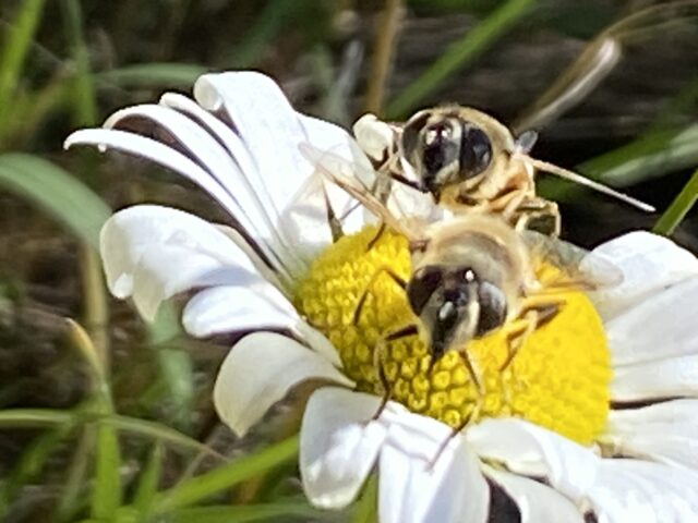 two bees on a daisy