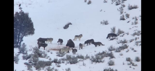 Grizzly bear surrounded by wolves in snow