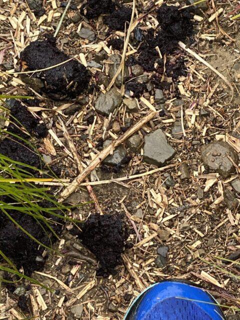Bear scat (poop) on hiking trail