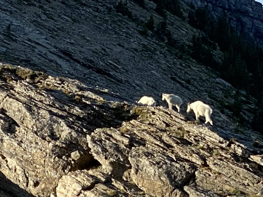 3 mountain goats
